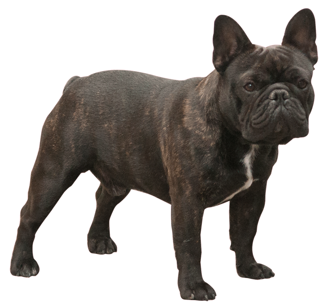 AKC GCH. CH. JKC CH. Petit tail Meteorのイメージ